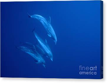 Bottle-nosed Dolphins Underwater Canvas Print by Sami Sarkis