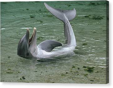 Bottlenose Dolphin Playing In Shallows Canvas Print by Flip Nicklin