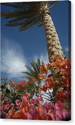 Bougainvillea Flowers Surround A Palm Canvas Print by Richard Nowitz