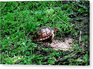 Box Turtle  Canvas Print by The Kepharts