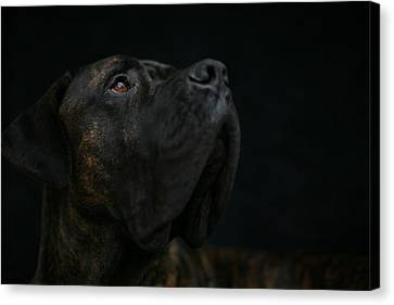 Boxer Dog Looking Up Canvas Print by STasker