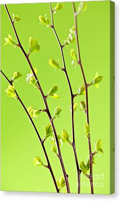 Branches With Green Spring Leaves Canvas Print by Elena Elisseeva