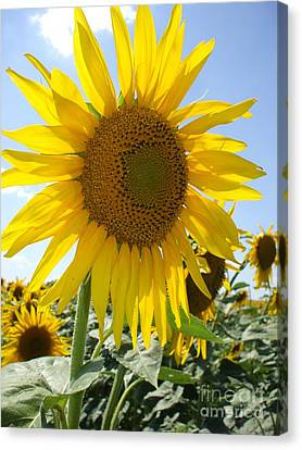 Bright And Colorful Kansas Sunflower Canvas Print by Robert D  Brozek
