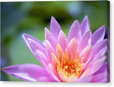 Bright Pink Water Lily II Canvas Print by Kicka Witte