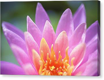 Bright Pink Water Lily Canvas Print by Kicka Witte