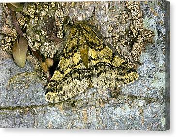 Brindled Beauty Butterfly Canvas Print by Dr Keith Wheeler