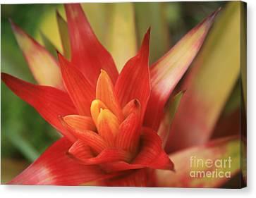 Bromeliad Canvas Print by Sharon Mau