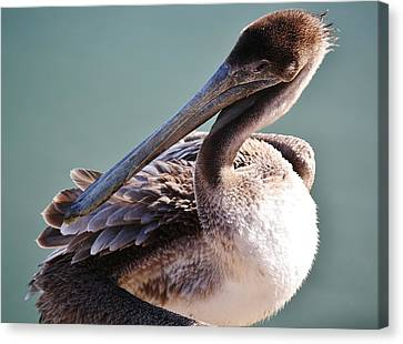Browm Pelican Up Close Canvas Print by Paulette Thomas