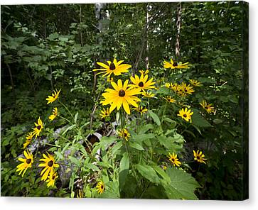 Brown-eyed Susan In The Woods Canvas Print by Gary Eason