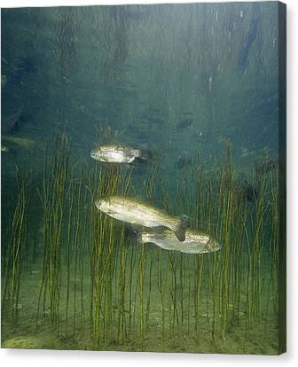 Brown Trout Canvas Print by Alexis Rosenfeld
