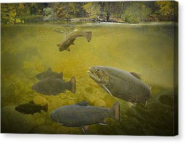 Brown Trout In A Stream Canvas Print by Randall Nyhof