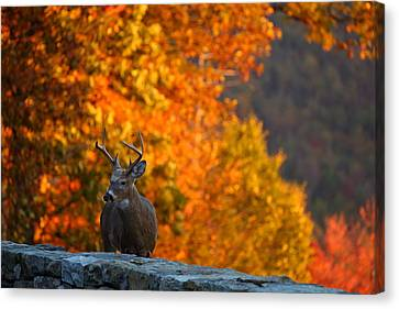 Buck In The Fall 02 Canvas Print by Metro DC Photography