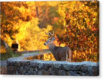 Buck In The Fall 09 Canvas Print by Metro DC Photography