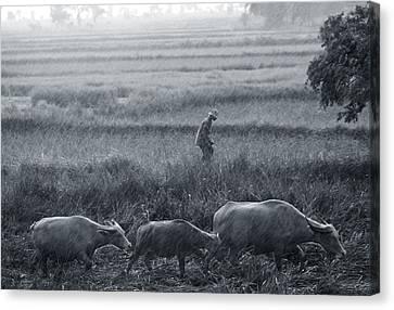 Buffalo And Monsoon Rain Canvas Print by Anonymous