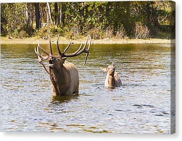 Bugling Bull Elk And Calf Colorado Rut 5 Canvas Print by James BO  Insogna