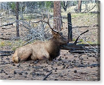 Bull Elk Canvas Print by Brian Lambert
