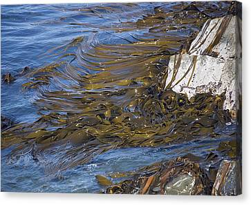 Bull Kelp Bed Canvas Print by Bob Gibbons