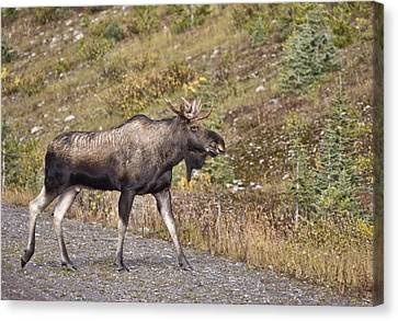 Bull Moose Alberta Canvas Print by Mark Duffy