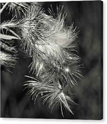 Bull Thistle Monochrome Canvas Print by Steve Harrington