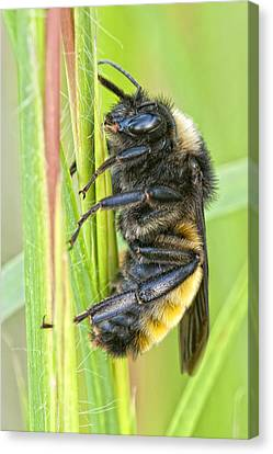 Bumblebee Canvas Print by Bonnie Barry