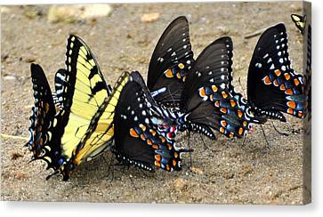 Butterflies By The Buches Canvas Print by Marty Koch
