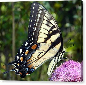 Butterfly Harvest II Canvas Print by Sheri McLeroy