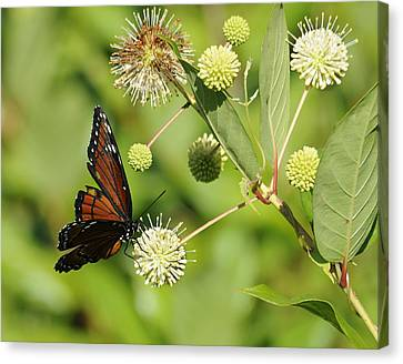 Butterfly Canvas Print by Keith Lovejoy