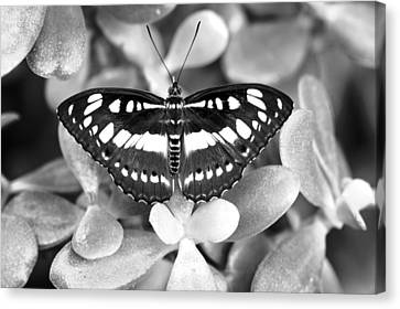 Butterfly Study #0061 Canvas Print by Floyd Menezes