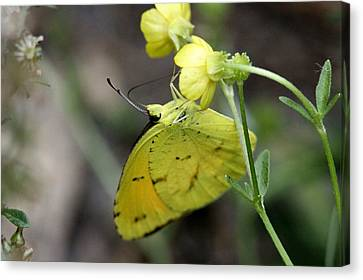 Butterfly - Yellow Sulphur On Yellow Canvas Print by Travis Truelove