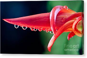 Cactus Orchid Bud Canvas Print by Dana Kern