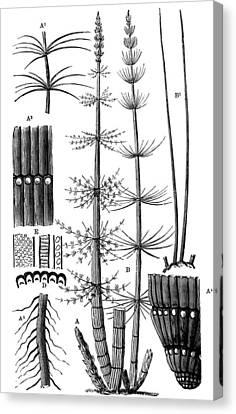 Calamite Plants, 19th Century Artwork Canvas Print by