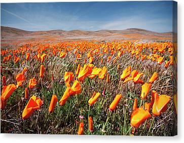 California Poppies Canvas Print by Ben Neumann