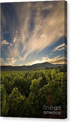 California Vineyard Sunset Canvas Print by Matt Tilghman