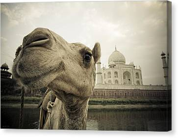 Camel In Front Of The Yamuna River And Canvas Print by David DuChemin