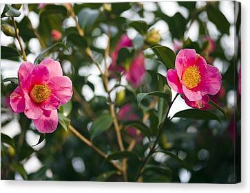 Camellia Flower (camelia Japonica) Canvas Print by Dr Keith Wheeler