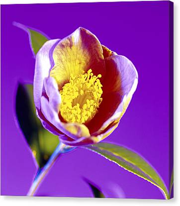 Camellia Flower (camellia Sp.) Canvas Print by Johnny Greig