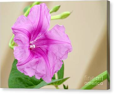 Candy Pink Morning Glory Flower Canvas Print by Sabrina L Ryan