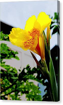 Canna Yellow Flowers. Canvas Print by Pitakpong Chansri