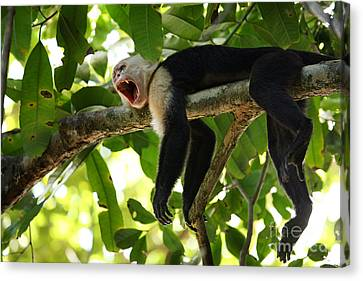 Capuchin Monkey Canvas Print by Matt Tilghman