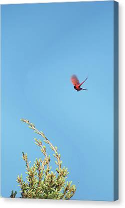 Cardinal In Full Flight Digital Art Canvas Print by Thomas Woolworth