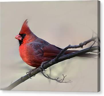 Cardinal On Gray Canvas Print by Ann Bridges