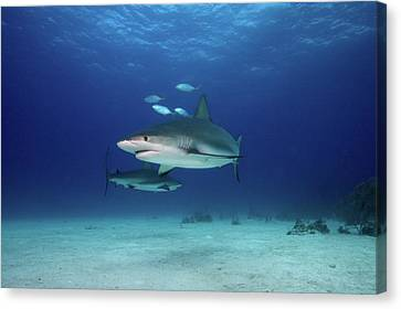 Caribbean Reef Sharks Canvas Print by James R.D. Scott