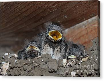 Caring For Baby Birds Www.pictat.ro Canvas Print by Preda Bianca Angelica