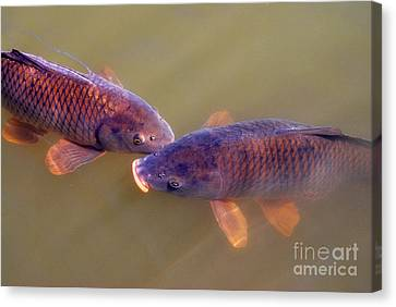 Carp Duo Canvas Print by Nancy Mueller