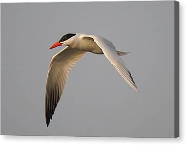 Caspian Tern In Flight Canvas Print by Paulette Thomas