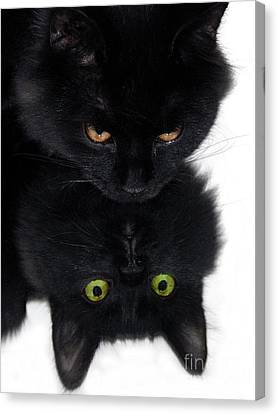 Cat In The Mirror Canvas Print by Graham Taylor