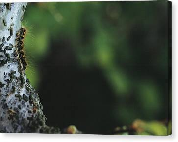 Caterpillar Canvas Print by Alan Sirulnikoff