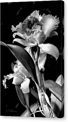 Cattleya - Bw Canvas Print by Christopher Holmes