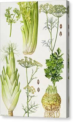 Celery - Fennel - Dill And Celeriac  Canvas Print by Elizabeth Rice