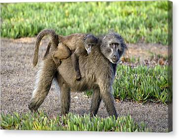 Chacma Baboon Mother And Young Canvas Print by Peter Chadwick